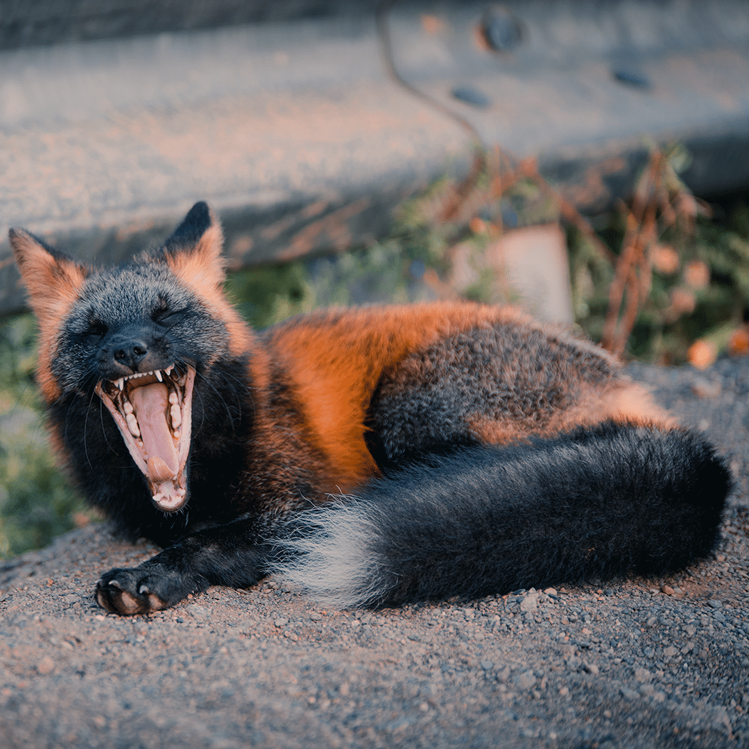 Black and Orange Fox Yawning