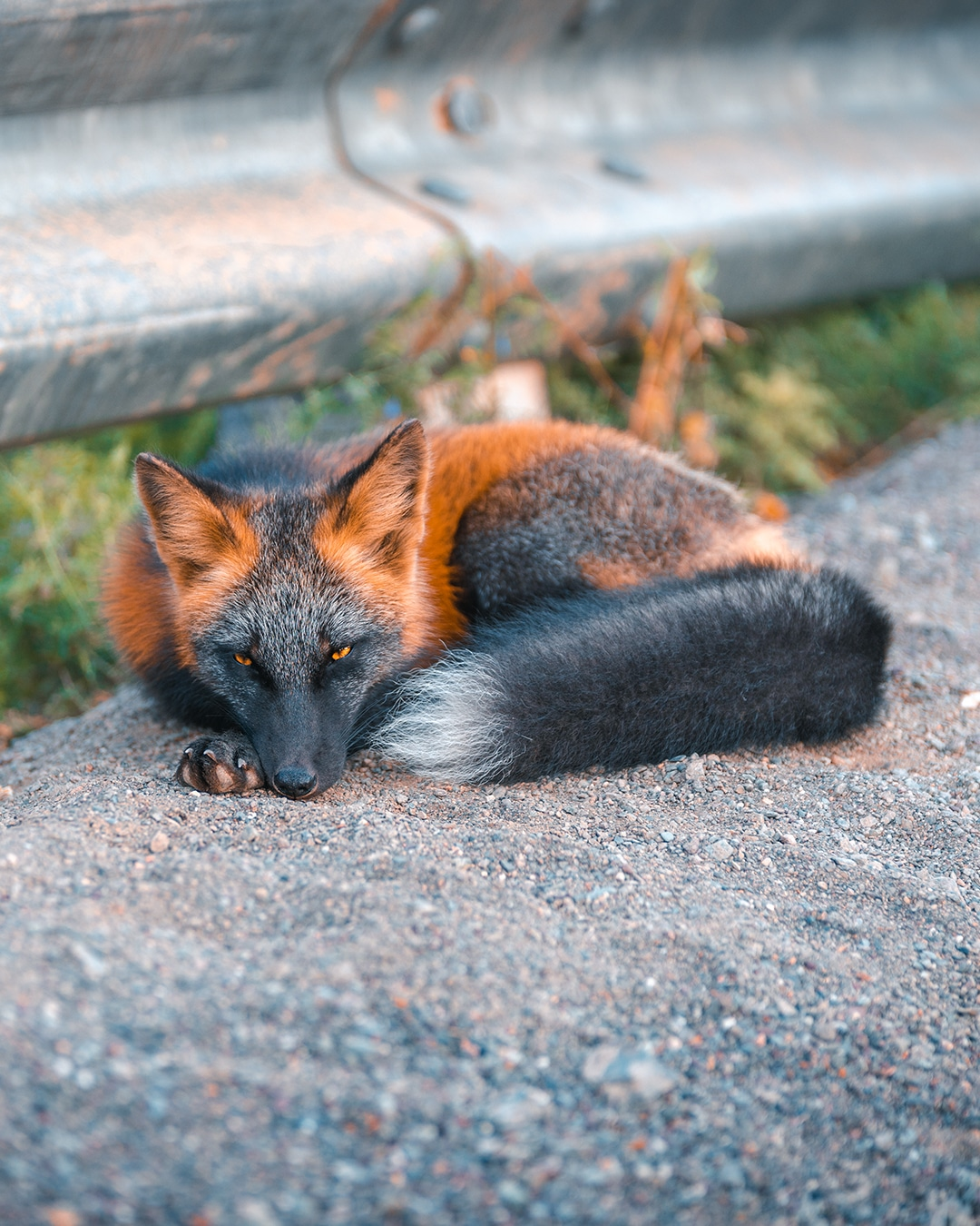 Cross Fox Curled Up on the Side of the Road