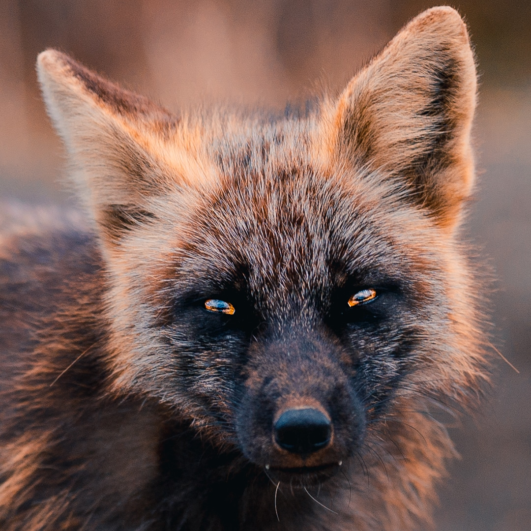 Portrait of Melanistic Black and Orange Fox