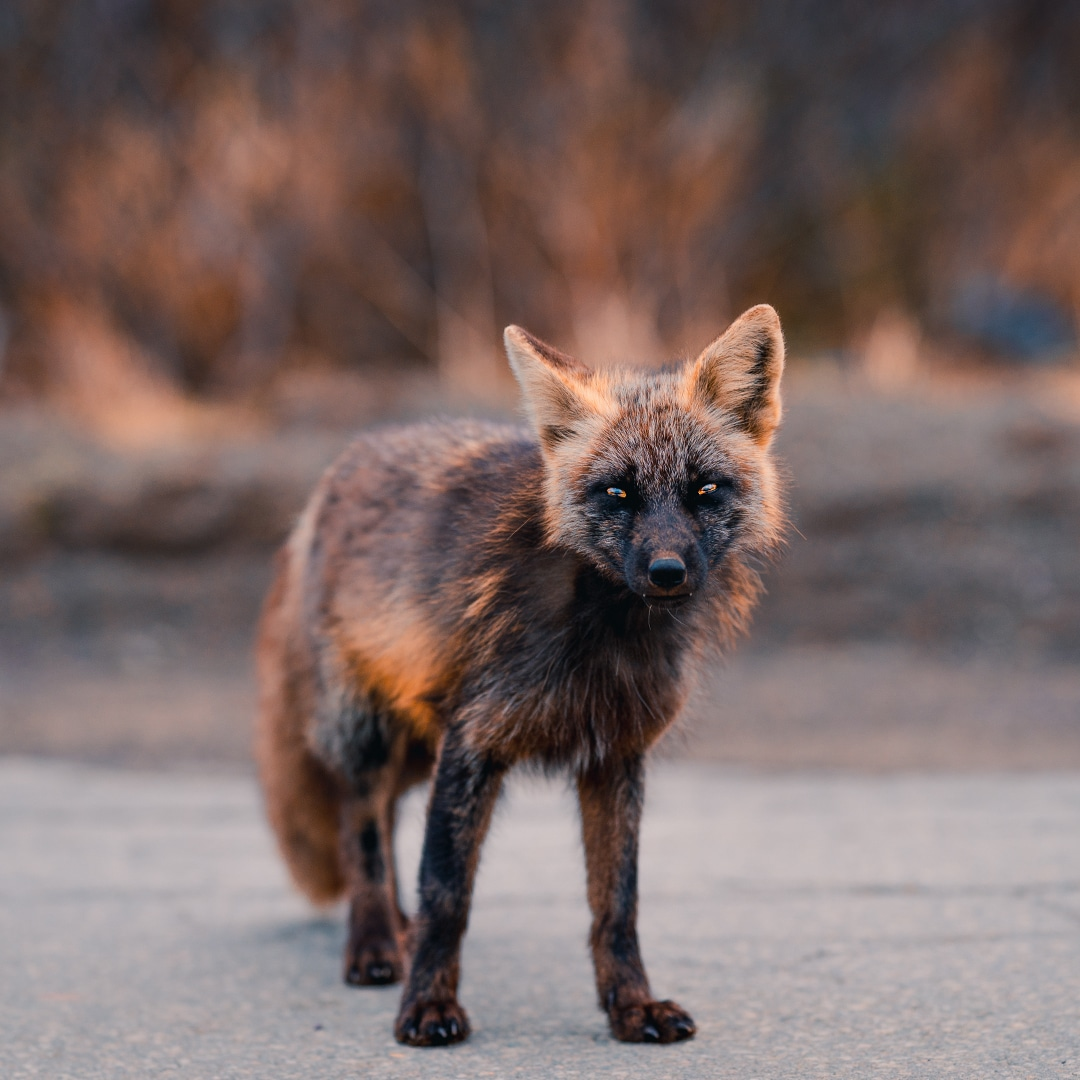 Melanistic Black and Orange Fox