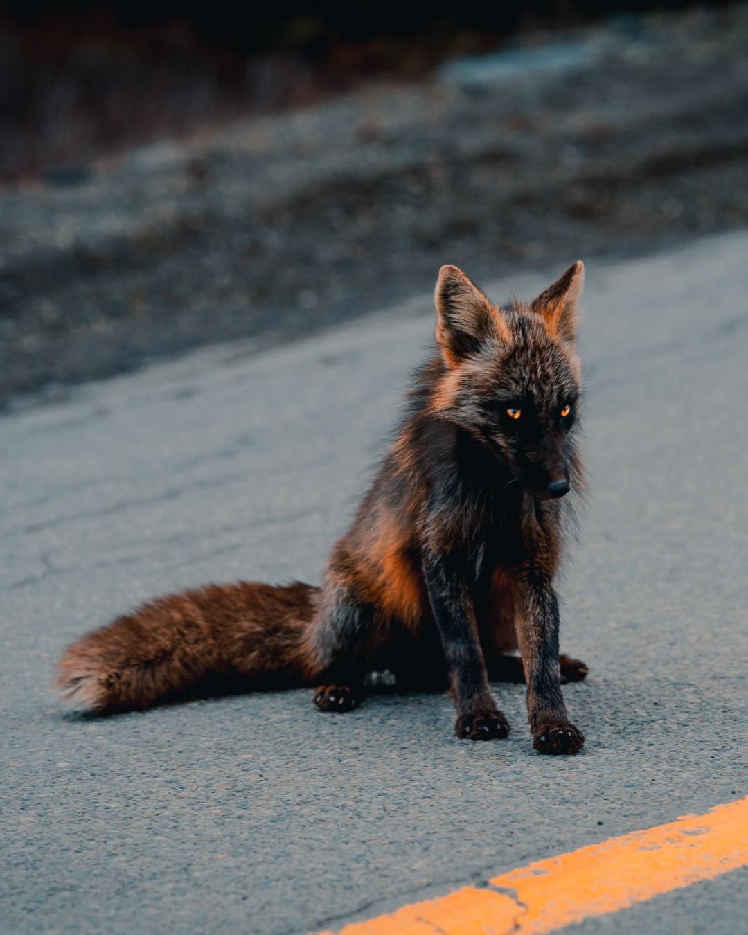 Melanistic Black and Orange Fox Sitting on the Side of the Road