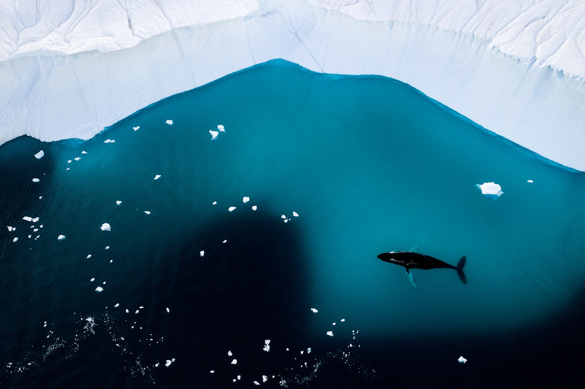 Whale Swimming Near an Iceberg in Greenland