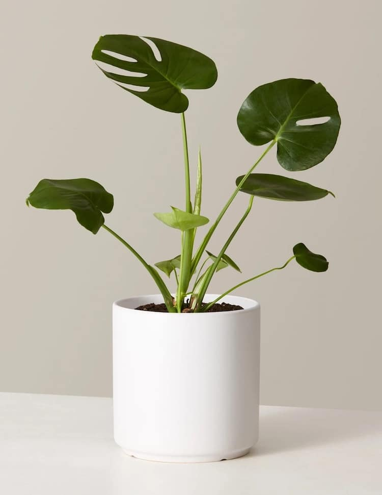 Monstera in Planter