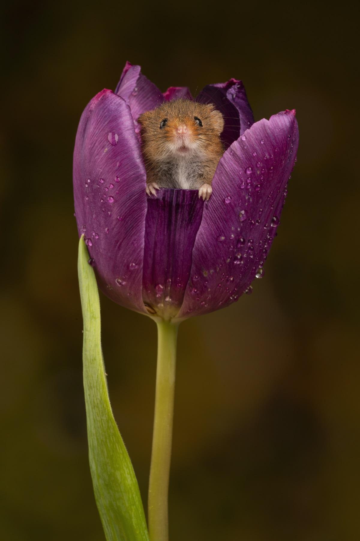Cute Mouse Inside a Purple Tulip