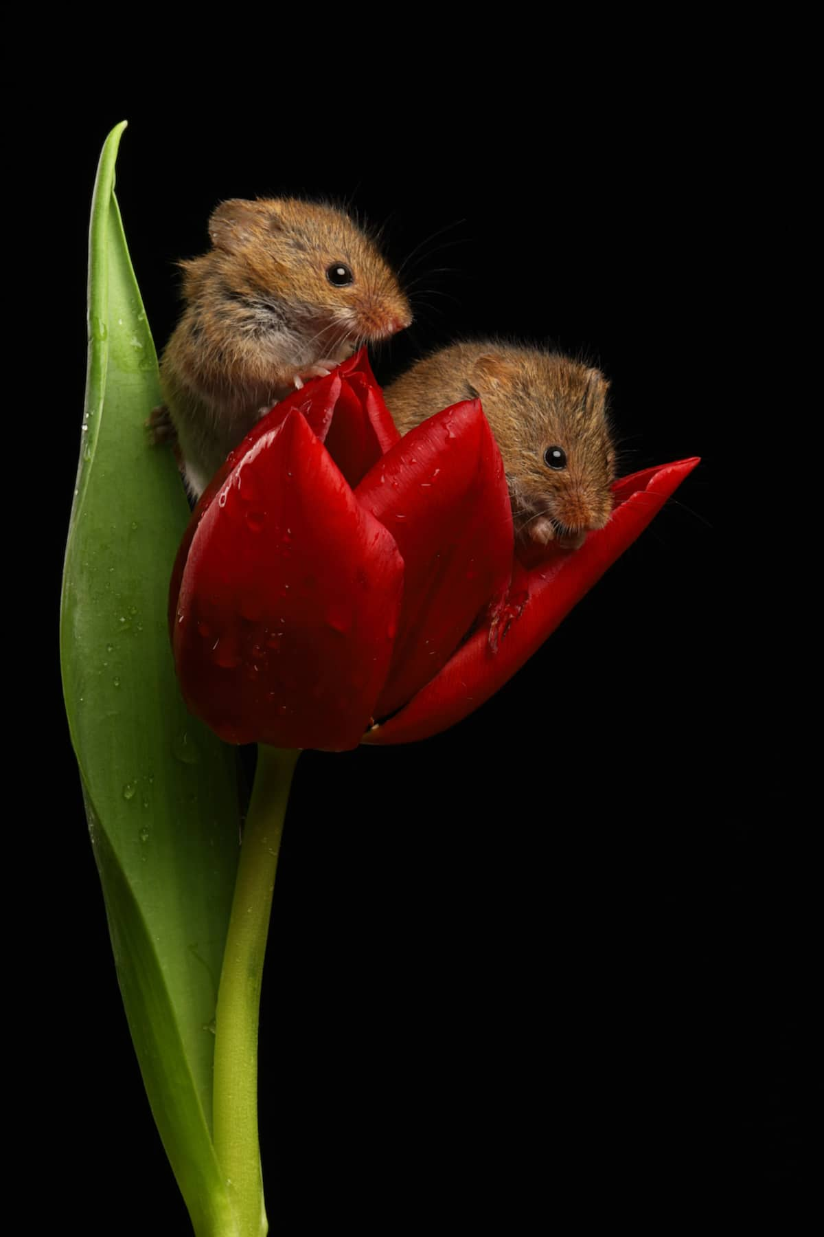 Two Harvest Mice Inside a Tulip
