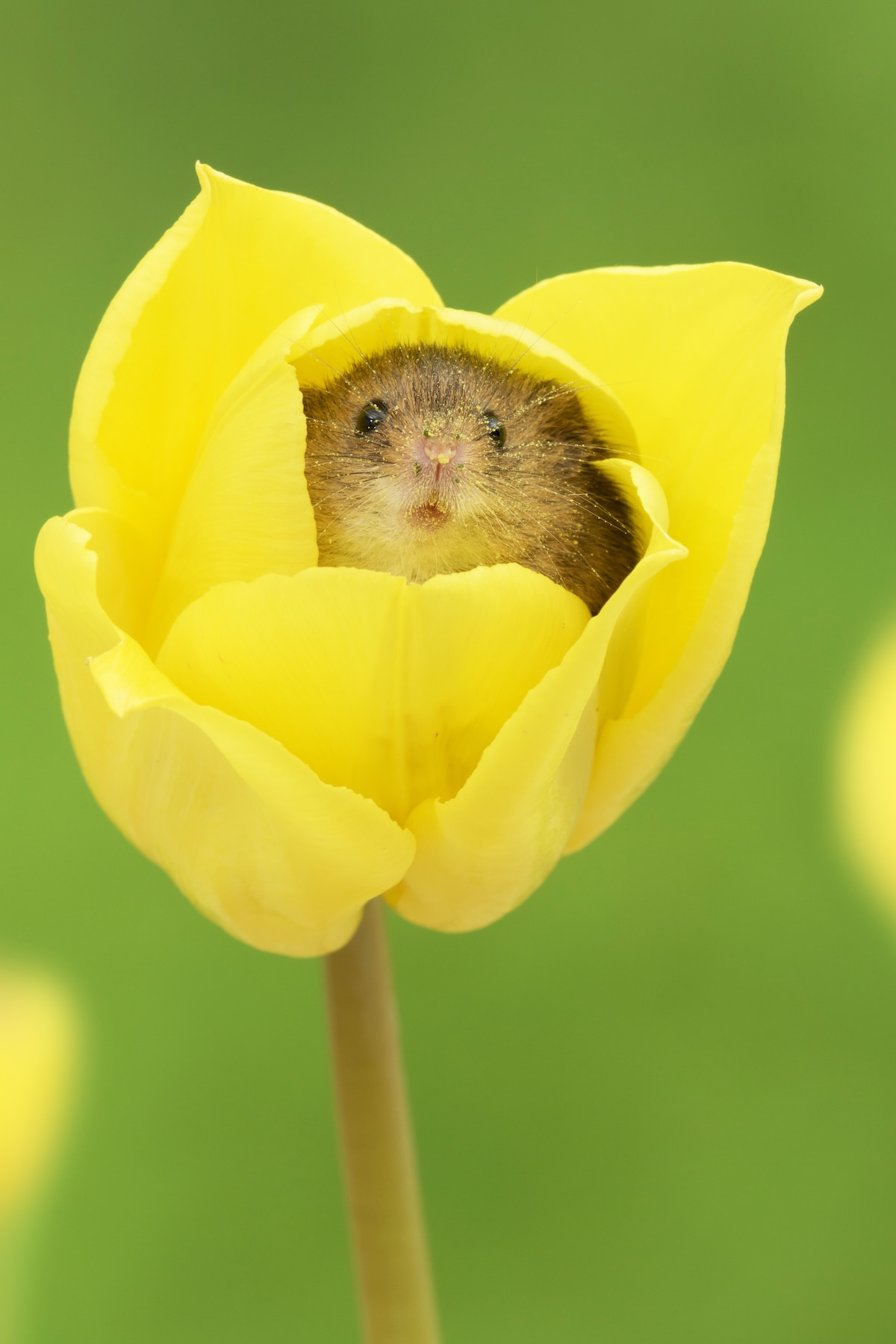 Cute Mouse in a Flower
