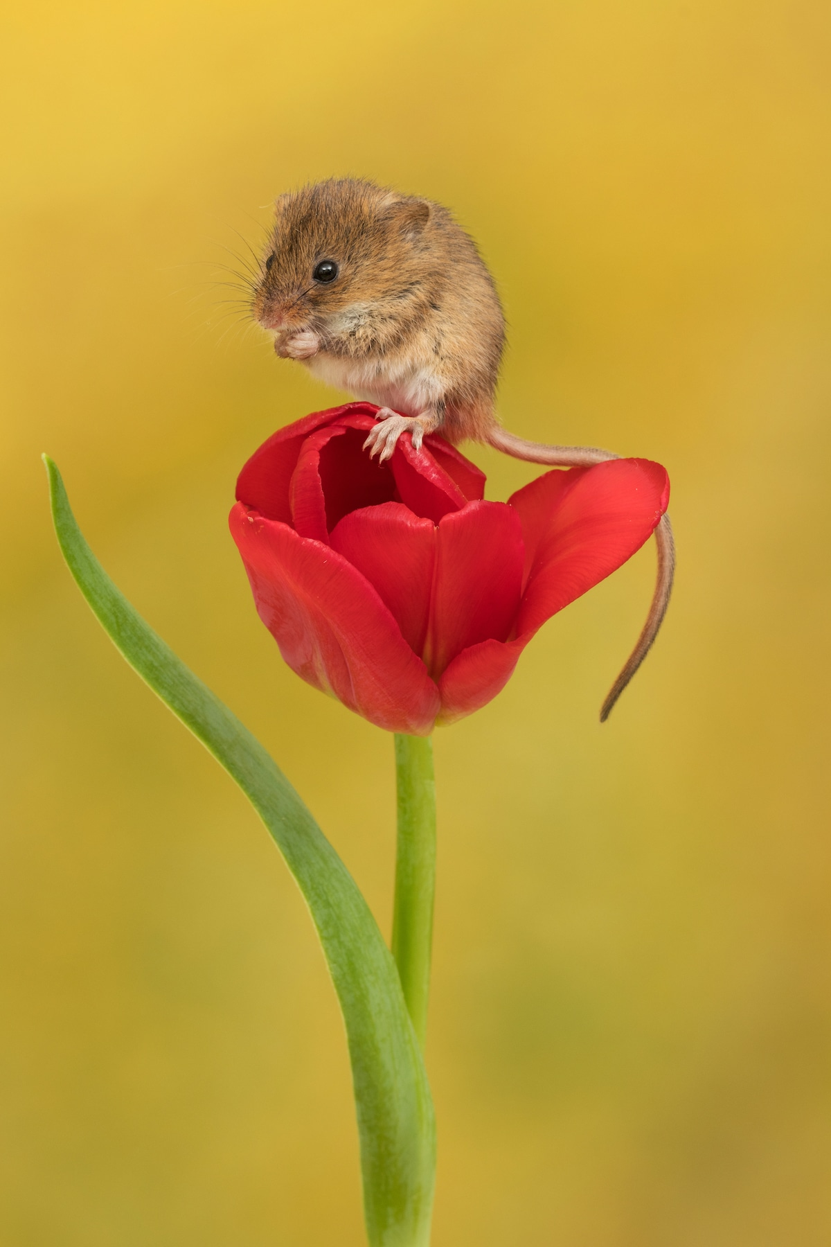 Harvest Mouse Standing on a Tulip