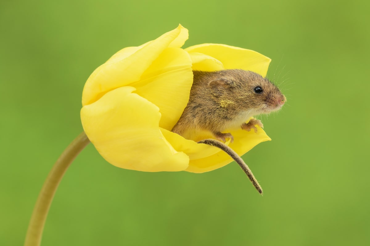 Harvest Mouse in a Tulip by Miles Herbert