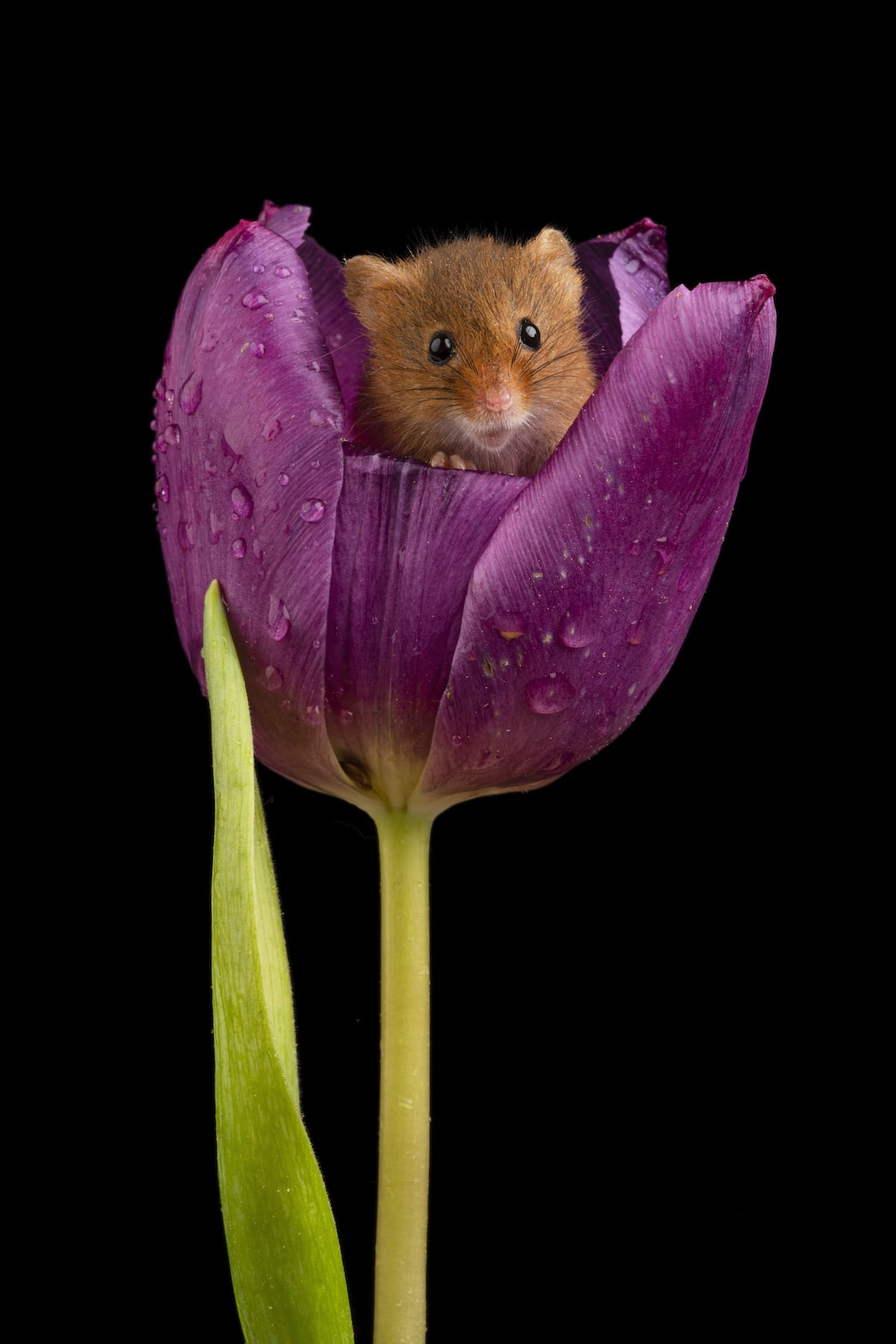 Adorable Mouse Inside a Tulip