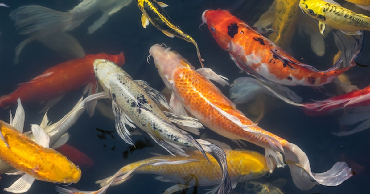 Learn How To Draw Koi Fish With This Easy Step By Step Guide