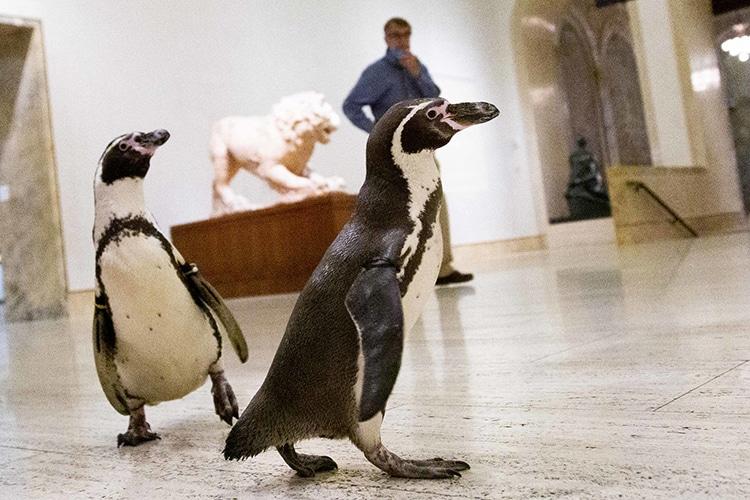 Two of Kansas City Zoo's Penguins Explore Art Museum