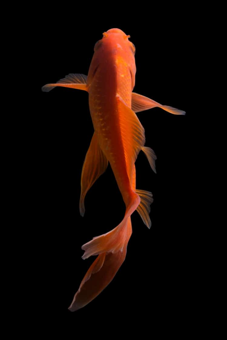 Photo of a Butterfly Koi Fish