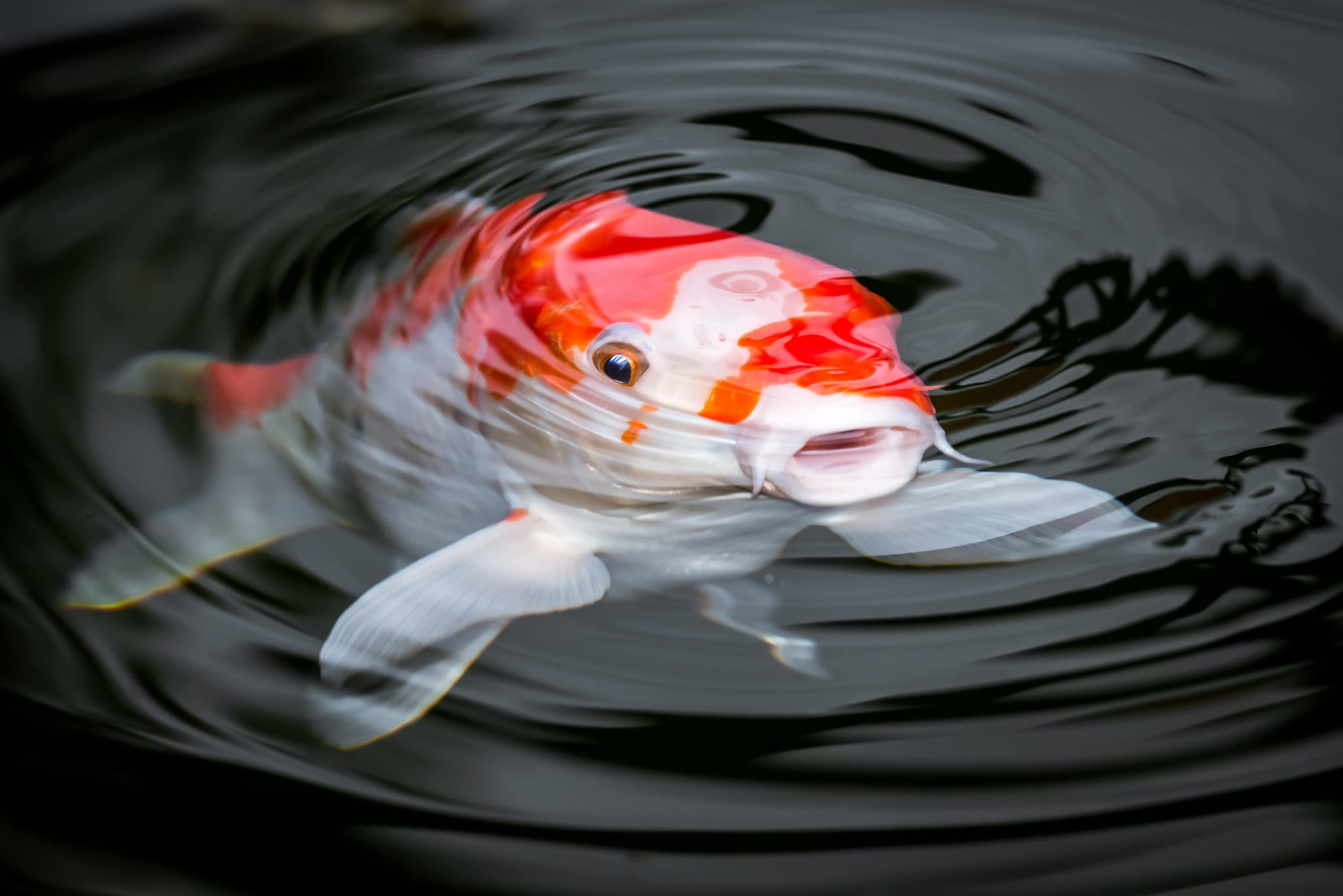 Photo of a Koi Fish