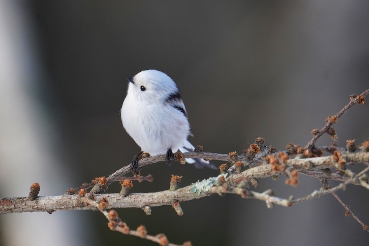Long Tailed Tit in Japan