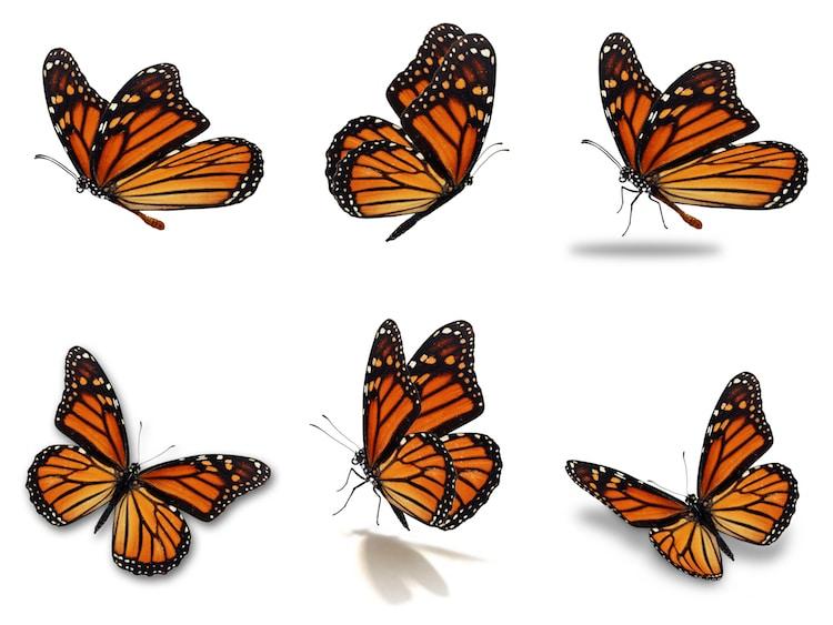 Photographs of Monarch Butterflies