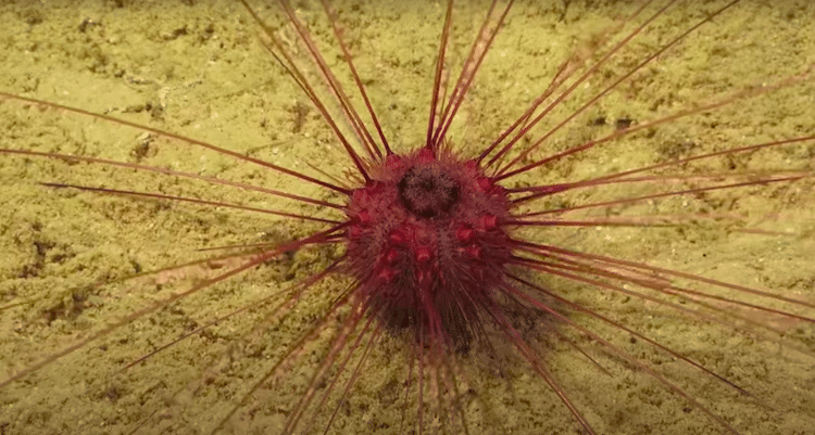 Deep Sea Creature in the Ningaloo Canyons