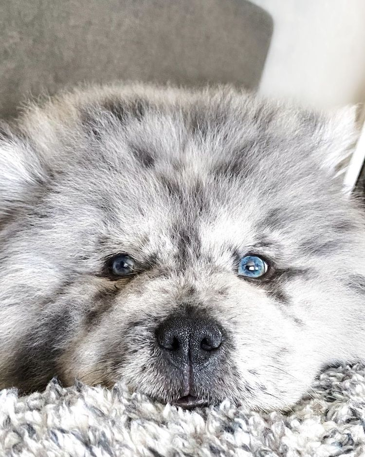 Chow Puppy Nicknamed Oreo Cloud
