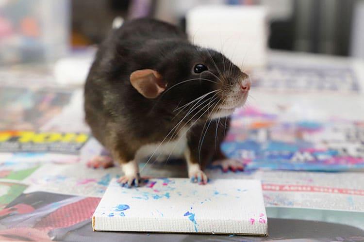 Rata pintando