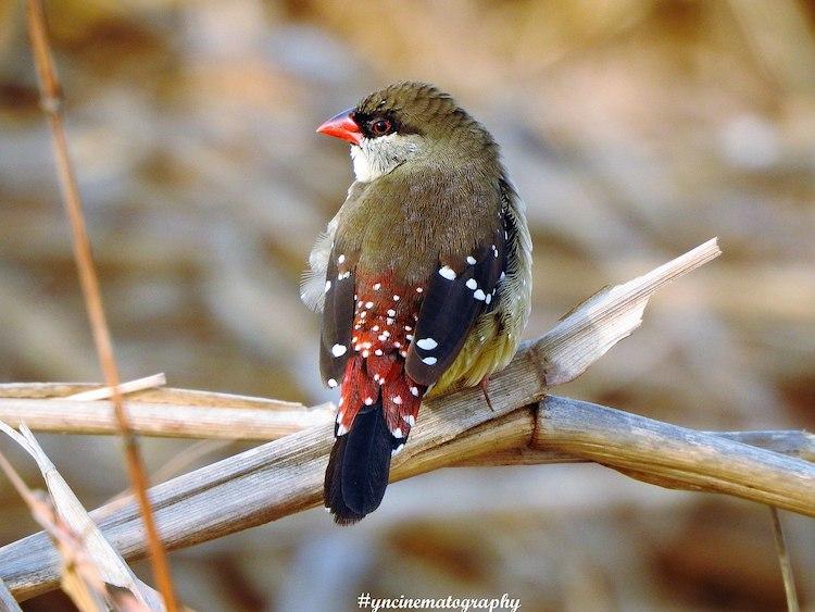 Male Red Munia