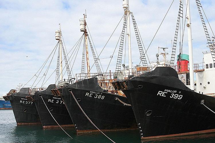 The Hvlaur hf Whaling Fleet in the Harbor