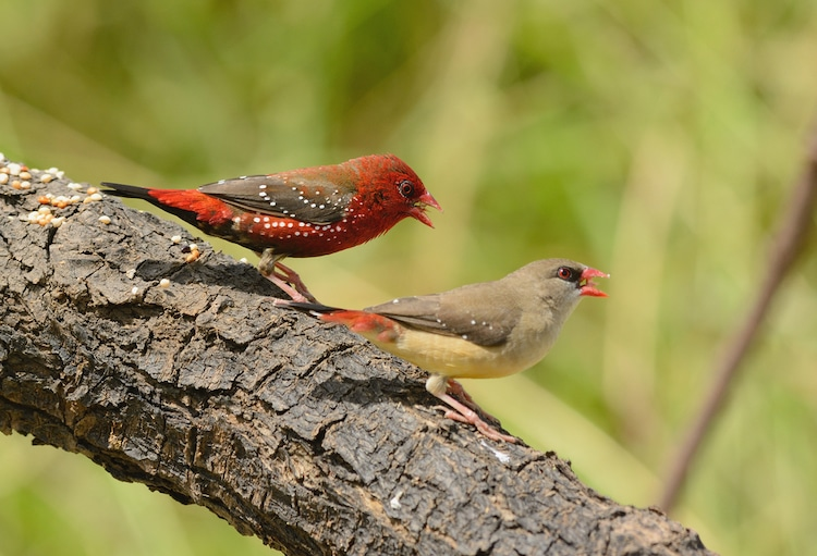 Male and Female Strawberry Finches During Breeding Season