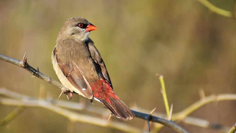 Strawberry Finch Outside of Breeding Season