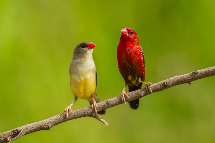 Couple of Red Munias Sitting on a Branch