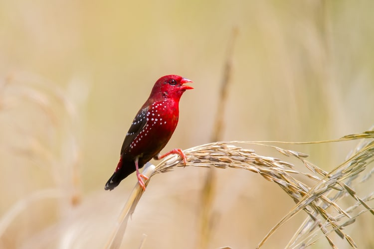 Strawberry Finch Perched on an Ear of Paddy