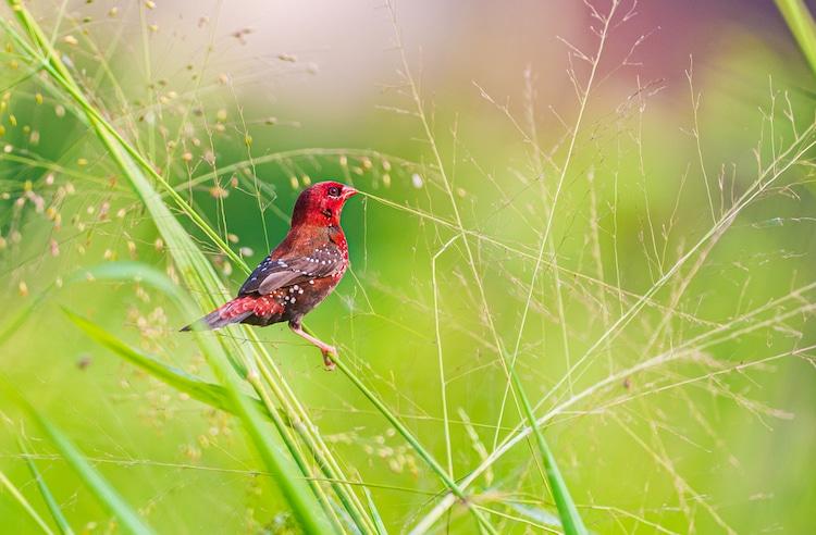 Red Munia in the Grass