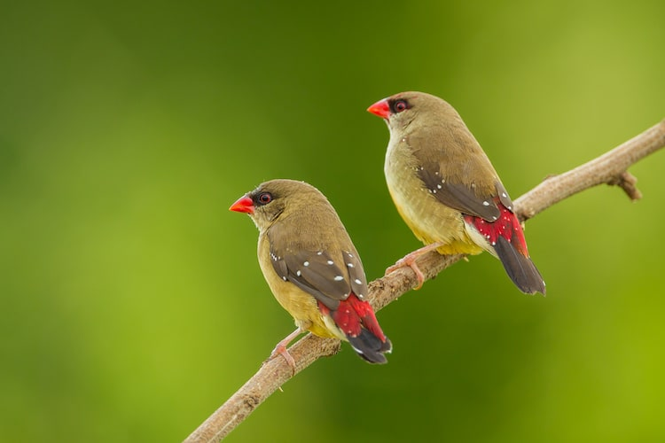 Pair of Female Strawberry Finches on a Branch