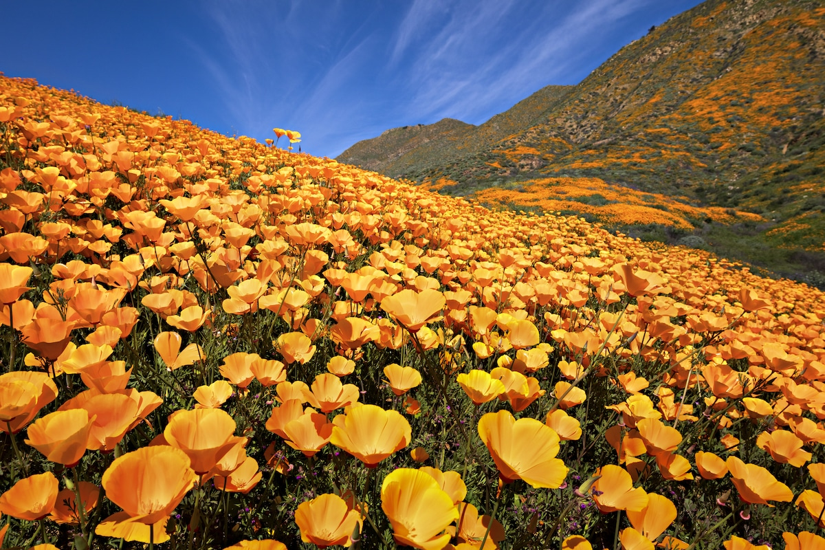 Poppy Superbloom in California