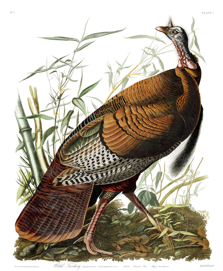 Wild Turkey from Audubon's The Birds of America