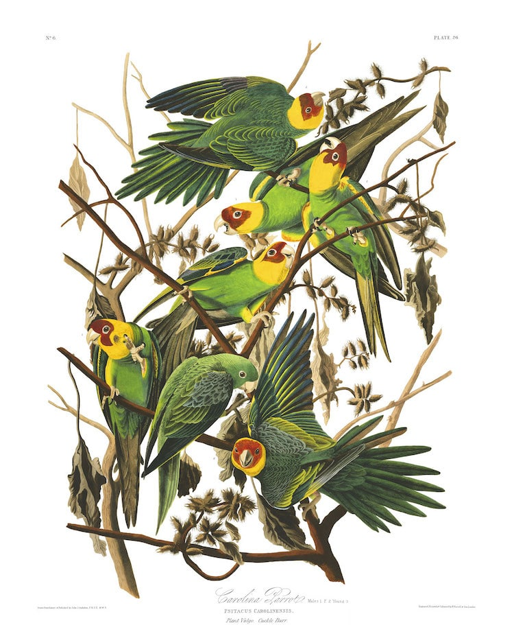 Carolina Parakeet by Audubon