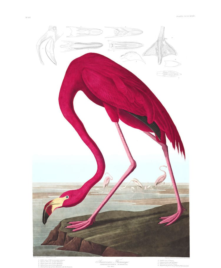 """American Flamingo"" by John James Audubon"