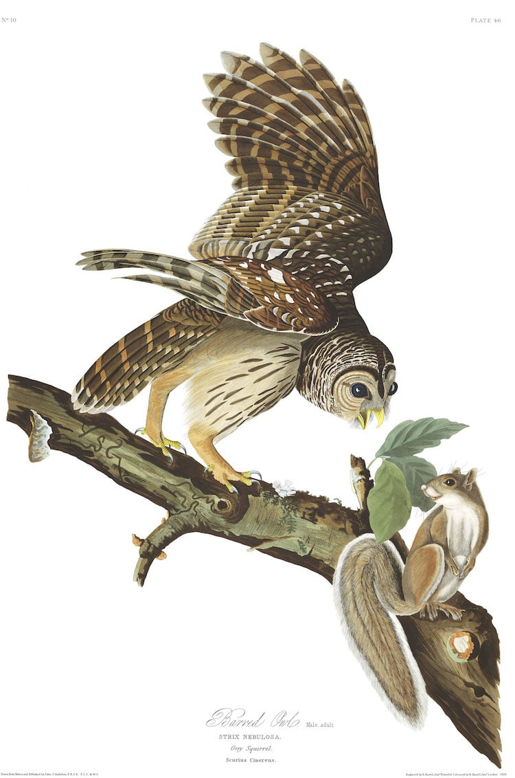 Barred Owl by John James Audubon