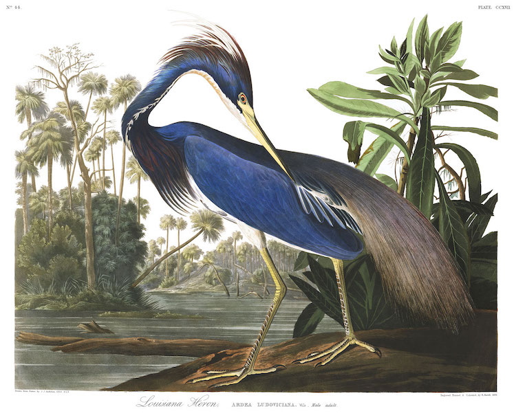 Louisian Heron by John James Audubon
