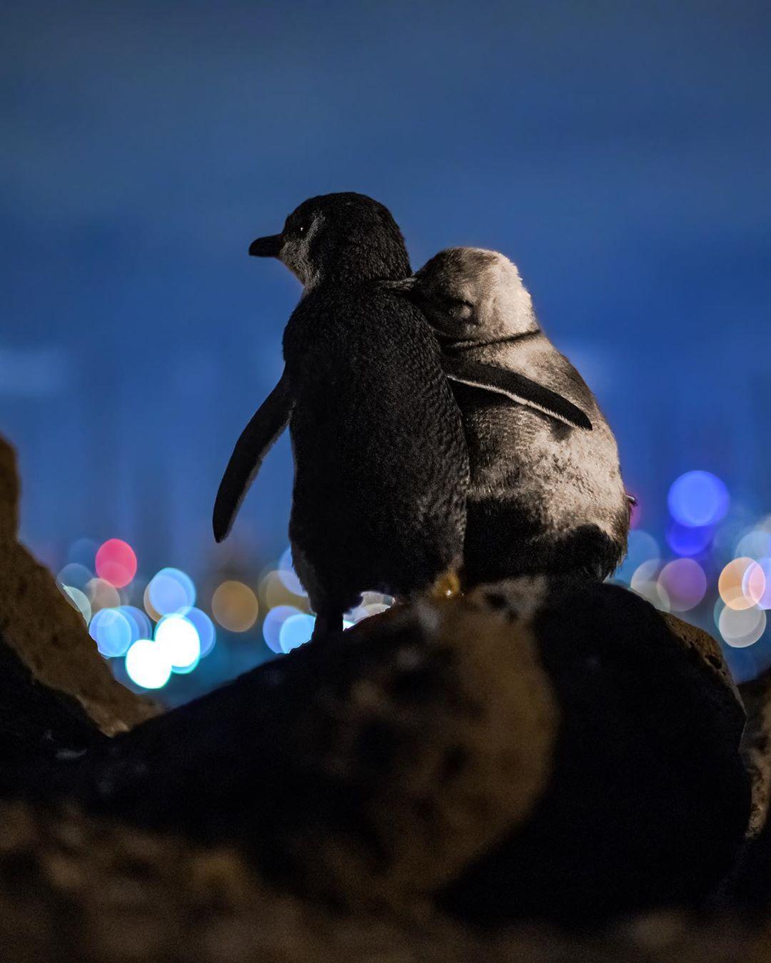 Pingüinos azules en Melbourne se abrazan