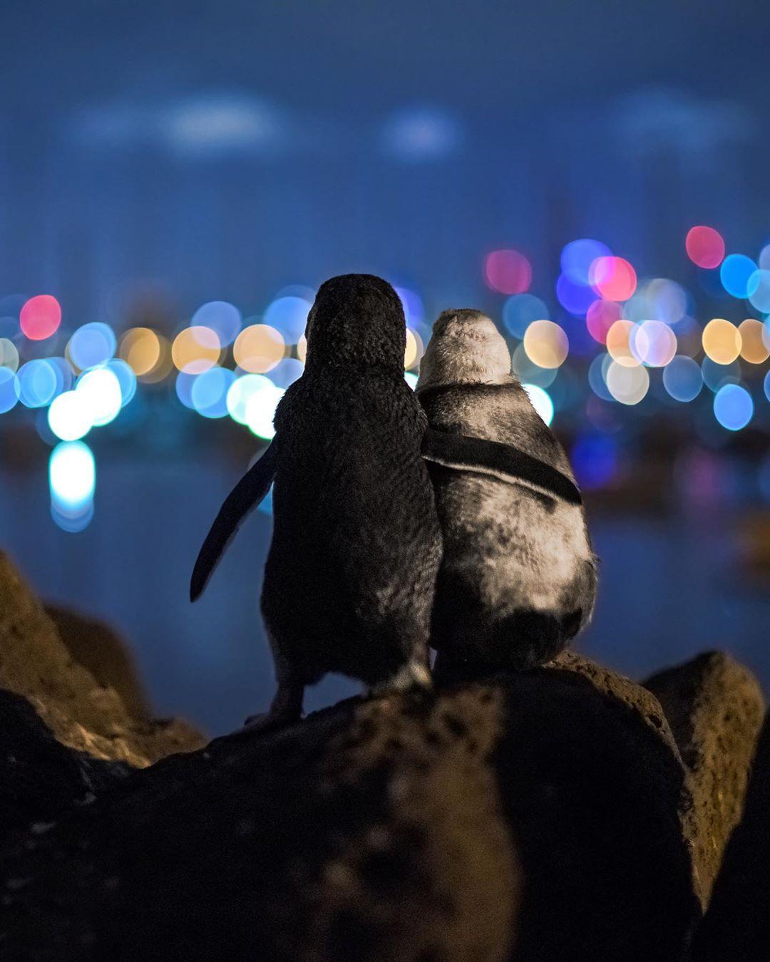 Tiernos pingüinos azules se abrazan en Melbourne