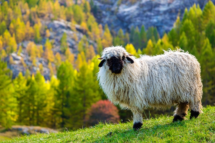 Valais Blacknose Sheep with the Swiss Alps in the Background