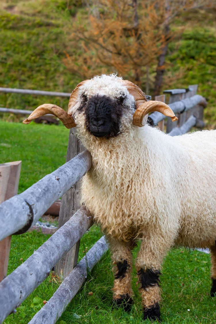Valais Blacknose Sheep with Curled Horns