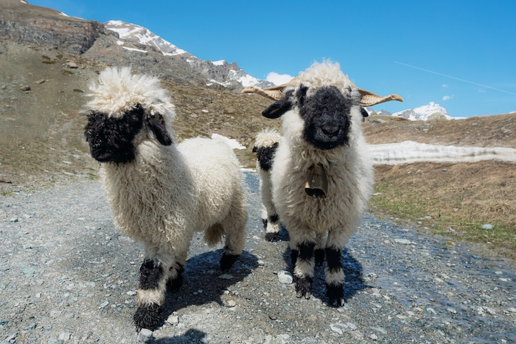 Two Blacknose Sheep in Switzerland