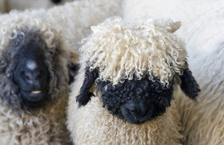 Cute Valais Blacknose Sheep