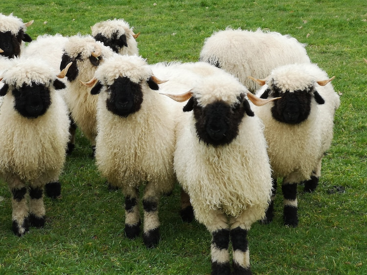 Flock of Adorable Valais Blacknose Sheep