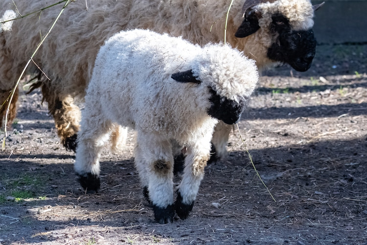 Baby Valais Blacknose Sheep