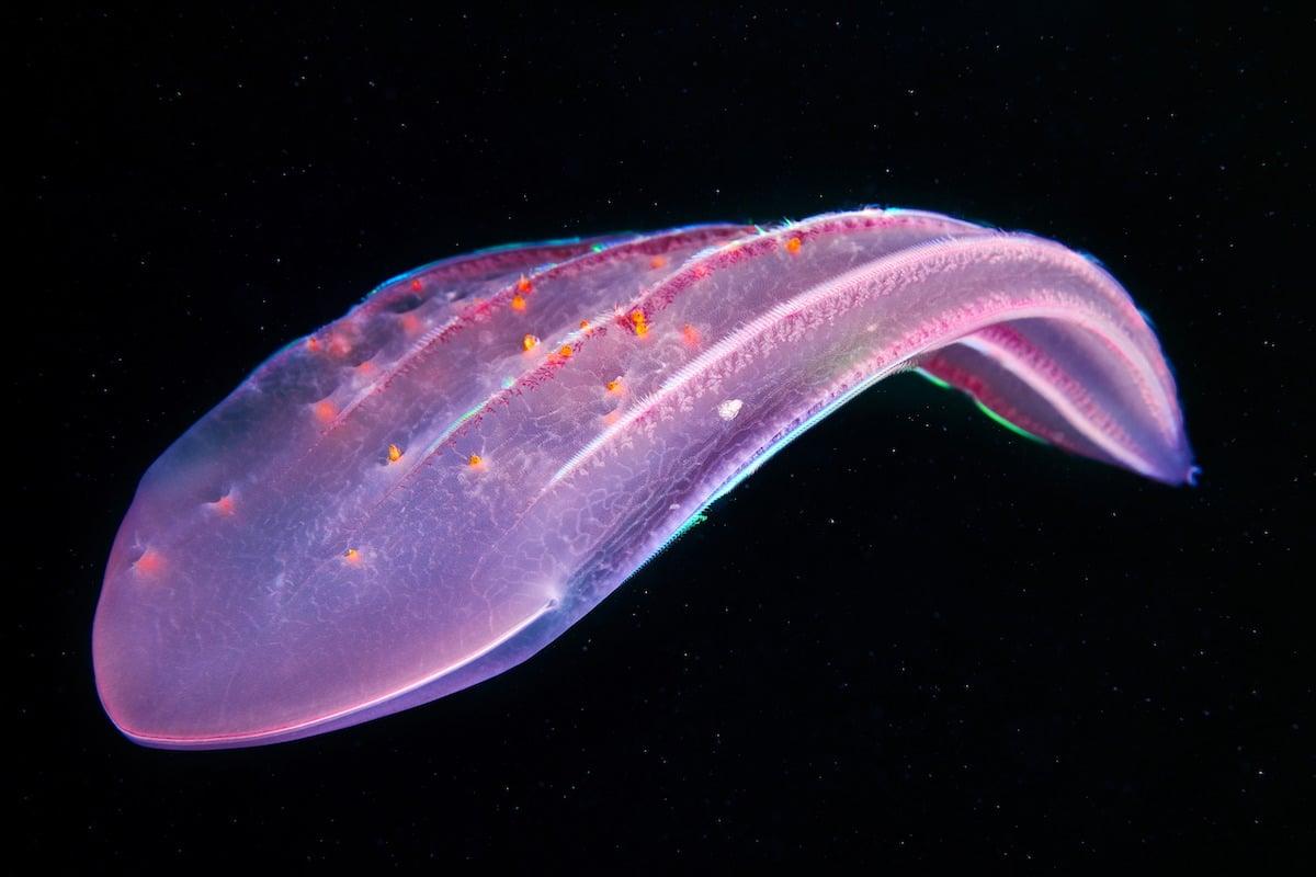 Ctenophora Beroe