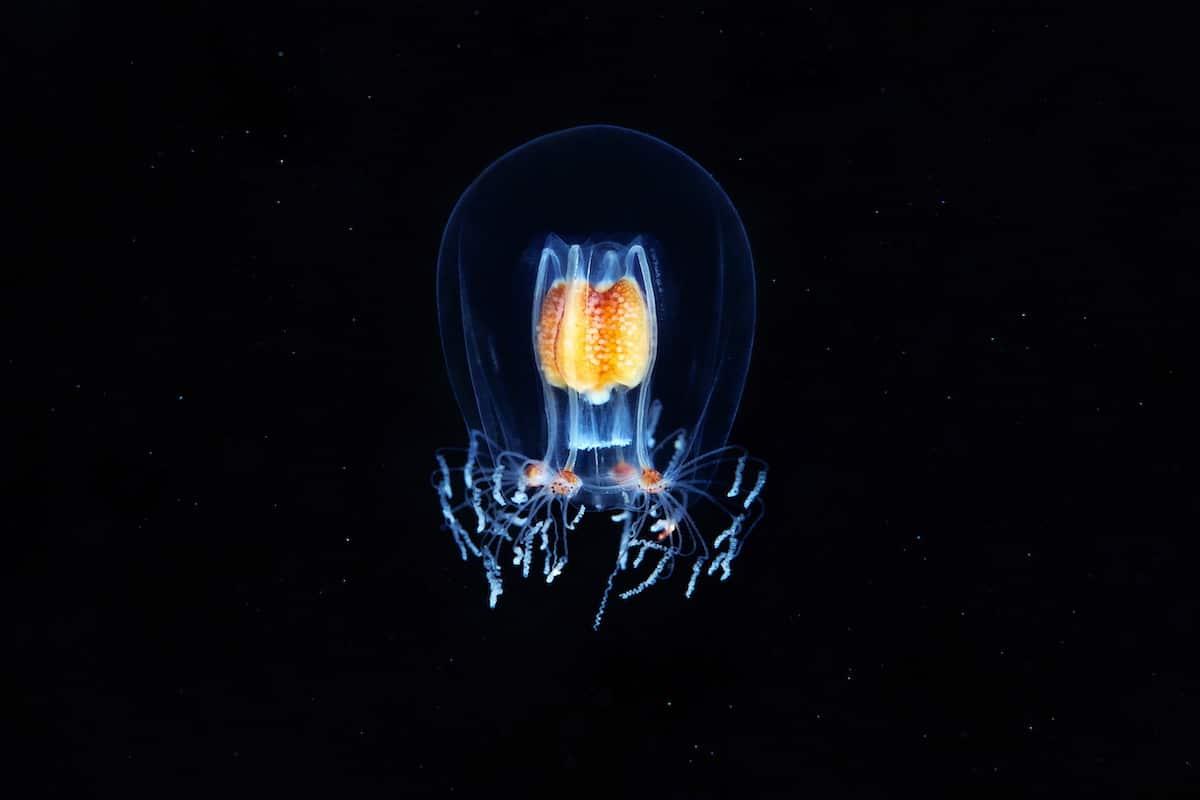 Hydrozoan Jellyfish by Alexander Semenov