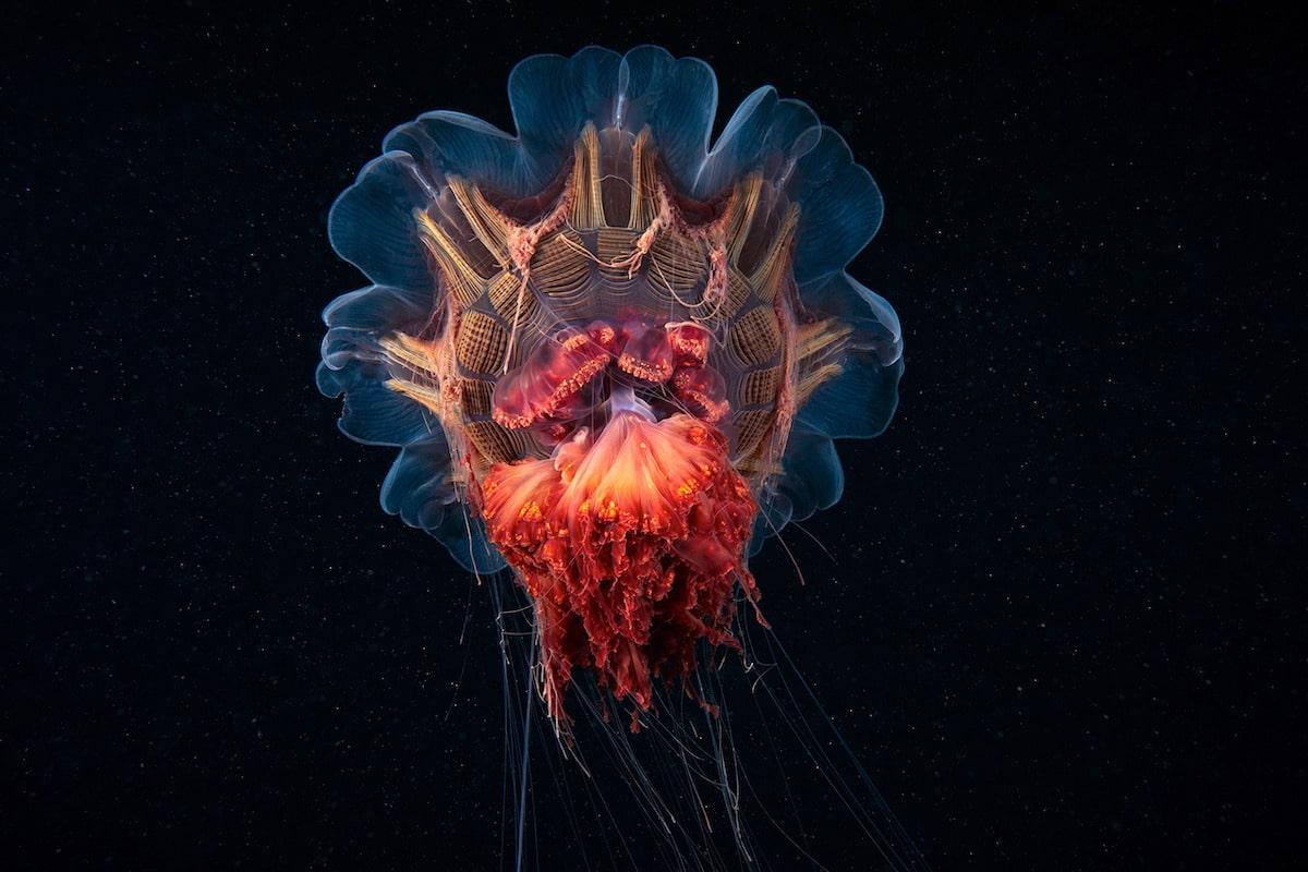 Lion's Mane Jellyfish by Alexander Semenov