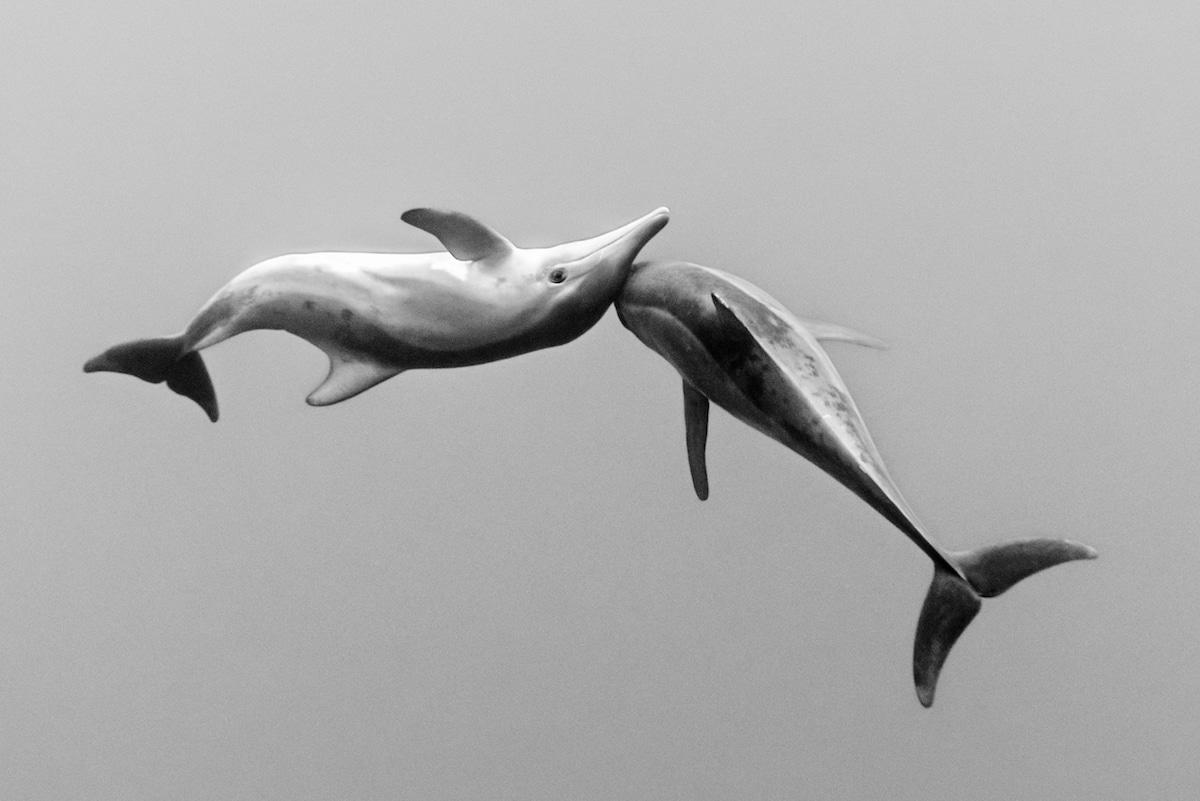Dos delfines bajo el agua