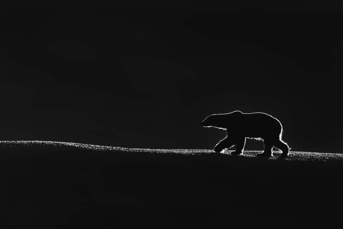 Silueta de un oso polar caminando en la noche