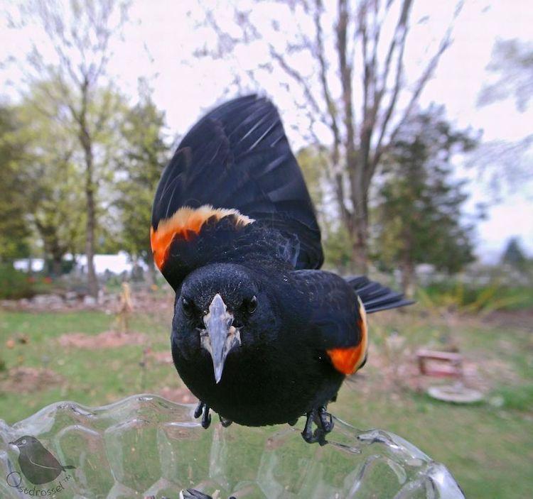 Fotos de pájaros tomadas desde un comedero para aves por Ostdrossel